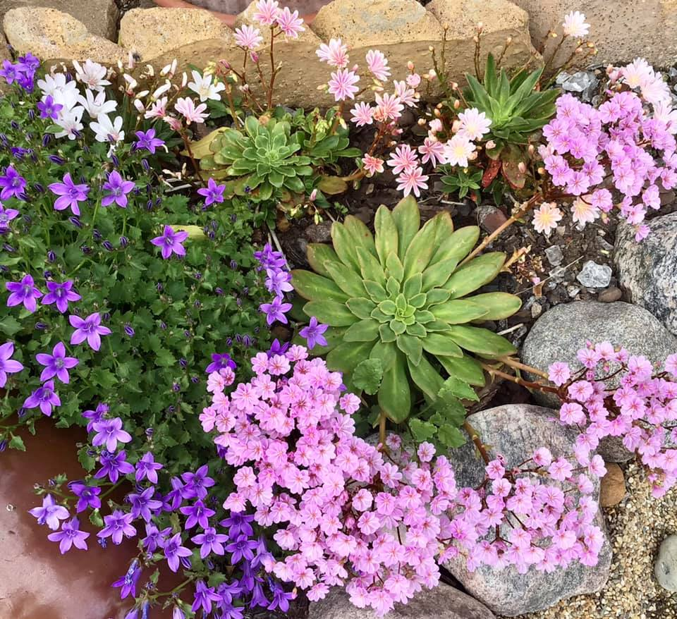 Read more about the article Lewisia